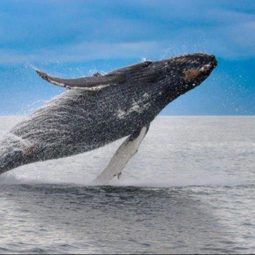 humpbackbreach-1-e1516399634416-500x500